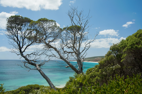 Two tall ti-trees amid dense scrub overlooking Injidup beach and Indian Ocean, South-west Western Australia