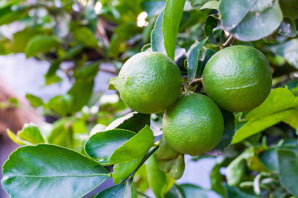Fresh lime green on the tree, lemon thai.